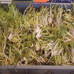 Jeune pousse de Pissenlit, en salade. Nos Saveurs de France