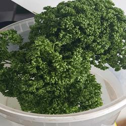 Persil, plante aromatique indispensable dans nos cuisines. nos Saveurs de France