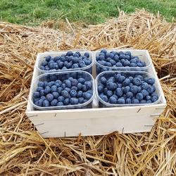 La Myrtille un joli fruit Bleu noir, en tarte en confiture Nos Saveurs de France